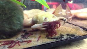 African Clawed Frog Diet