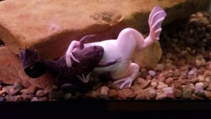 African Clawed Frog Mating