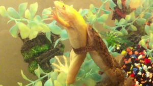 African Clawed Frog Reproduction