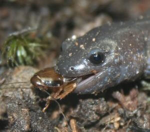 Blue Spotted Salamander Diet