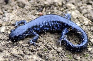 Spotted Salamander Behaviour