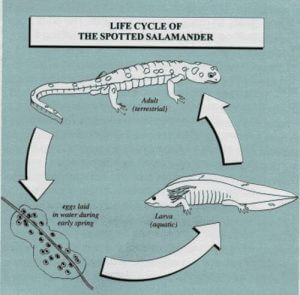 Spotted Salamander Life Cycle