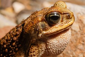 Appearance of Cane Toad