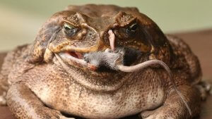 Diet of Cane Toad