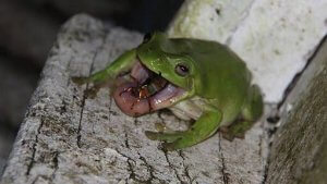 Diet of Green Tree Frog