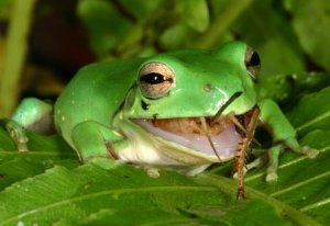 Diet of Green frog