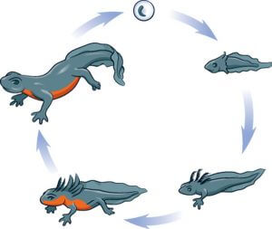 Great Crested Newt Life Cycle