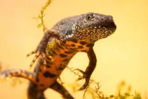 Great Crested Newt Picture1