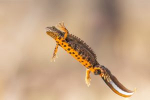 Great Crested Newt Picture2