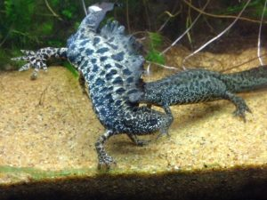 Great Crested Newt Reproduction