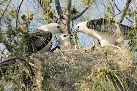 Habitat of Swallow tailed kite