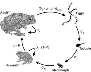 Natterjack Toad Life Cycle