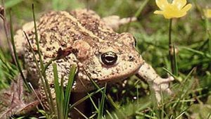 Natterjack Toad Picture1