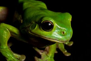 Physical Description of Green Tree Frog