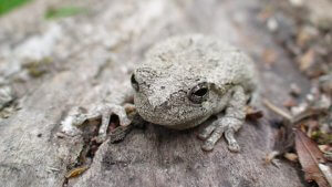 Physical description of Gray Tree Frog