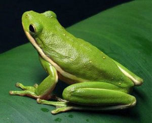Physical description of Green frog
