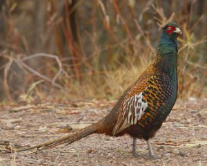 Physical description of Ringneck pheasant