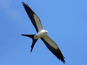 Physical description of Swallow tailed kite