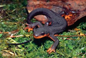 Picture 12 - Eastern Newt Picture