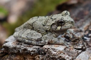 Reproduction of Gray Tree Frog