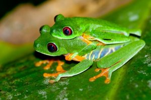 Reproduction of Green Tree Frog