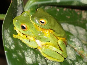 Reproduction of Green frog