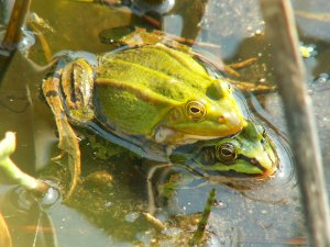 Reproduction of Pool Frog
