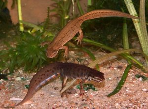 Smooth newt Reproduction