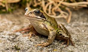 Description of Common Frog