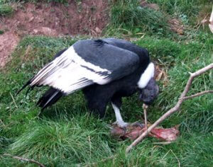 Diet of Andean Condor
