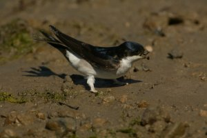 Diet of Common House Martin