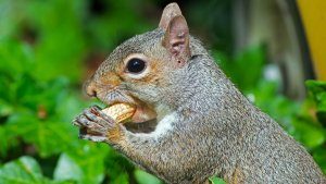 Diet of Eastern Grey Squirrel
