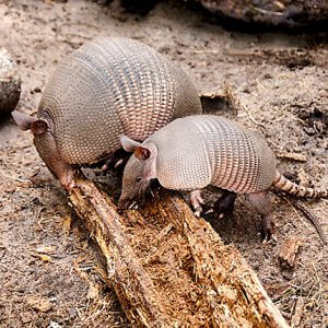 Diet of Nine Banded Armadillo