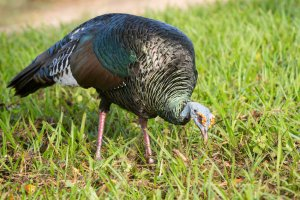 Diet of Ocellated Turkey