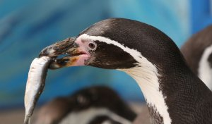 Diet of the African Penguin