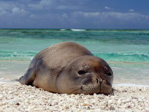 Physical Description Hawaiian Monk Seal