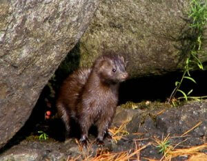 Physical Description of American Mink