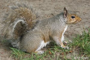 Physical Description of Eastern Grey Squirrel