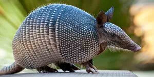Physical Description of Nine Banded Armadillo