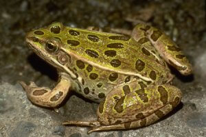 Physical Description of Northern Leopard Frog