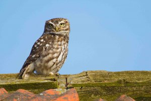 Physical description of Little owl