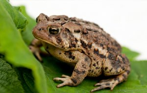 Physical description of common-toad