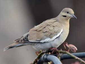 Physical description of the Eurasian collared dove