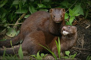Reproduction of American Mink