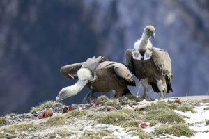 Reproduction of Griffon Vulture