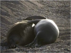 Reproduction of Hawaiian Monk Seal