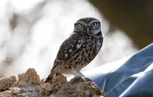 The habitat of Little owl