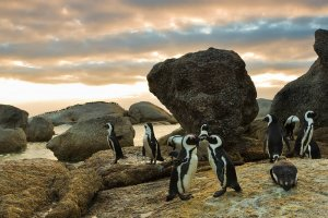 The habitat of the African Penguin