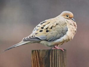 The habitat of the Eurasian collared dove
