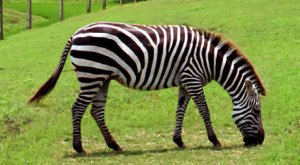 Diet of Grevy's Zebra